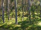 Лес,  Кулдига и р-он Турлавская вол., Фото