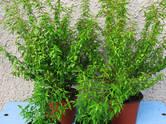 Mājas augi Dekoratīvie augi, cena 20 €, Foto