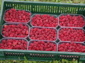Сельское хозяйство Семена и рассада, цена 0.35 €, Фото