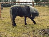 Lopkopība,  Lauksaimniecības dzīvnieki Zirgi, ēzeļi, citi, cena 700 €, Foto
