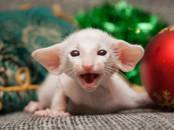 Кошки, котята Сиамская, цена 950 €, Фото