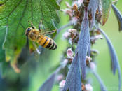 Продовольствие Мёд, цена 7 €/кг., Фото