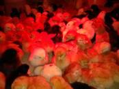Птицеводство Куры, цена 2.70 €, Фото