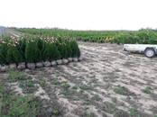Сельское хозяйство Семена и рассада, цена 10 €, Фото