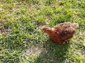 Птицеводство Куры, цена 2.50 €, Фото
