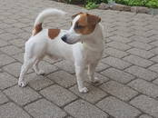Suņi, kucēni Džeka Rasela terjers, cena 123 €, Foto