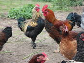 Птицеводство Куры, цена 8 €, Фото