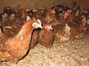 Птицеводство Куры, цена 9 €, Фото