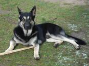 Suņi, kucēni Austrumeiropas aitu suns, Foto