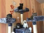 Kaķi, kaķēni Skotijas nokareno ausu, cena 70 €, Foto