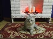 Кошки, котята Шотландская вислоухая, цена 210 €, Фото