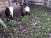 Lopkopība,  Lauksaimniecības dzīvnieki Kazas, cena 120 €, Foto