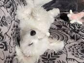 Suņi, kucēni Maltas sunītis, cena 300 €, Foto