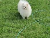 Suņi, kucēni Punduršpics, cena 250 €, Foto